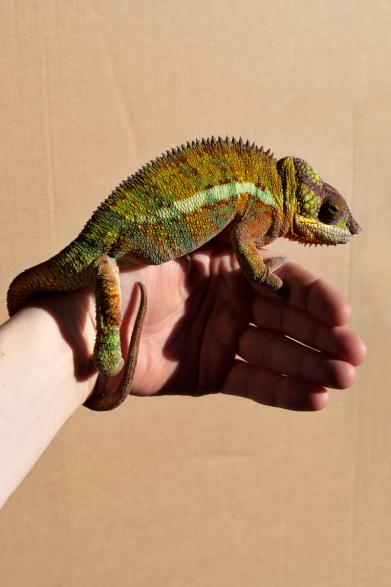 http://alexandermeyer.org/files/gimgs/th-1_Chameleon (Chatreuse), 2021.jpg
