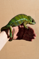 http://alexandermeyer.org/files/gimgs/th-51_Chameleon (Green), 2021.jpg